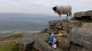 Overly Friendly Swaledale!