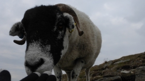 Cheeky Swaledale!