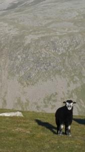 Herdy lamb.
